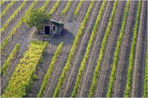 Tuscany Vinyard Montalcino  proj