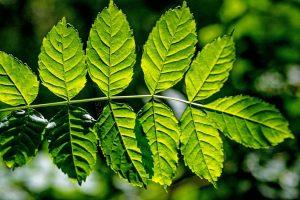 Backlit Ash Leaves Spring lo res_DSC1098
