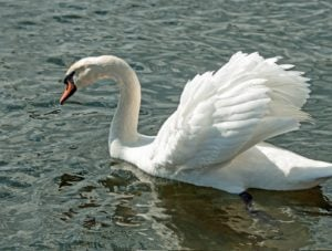 Most of a mute swan :)